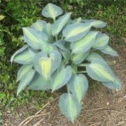 Hosta 'Dinner Jacket'. Click image to learn more, add to your lists & get care reminders.    Other names: Plantain lily 'Dinner Jacket'    Genus: Hosta    Variety or cultivar: 'Dinner Jacket' _ 'Dinner Jacket' is a clump-forming, herbaceous perennial forming a mound of heart-shaped, yellow-green to golden-yellow leaves with wide, irregular, blue-green margins. Slender, erect scapes bear funnel-shaped, lilac flowers in summer.