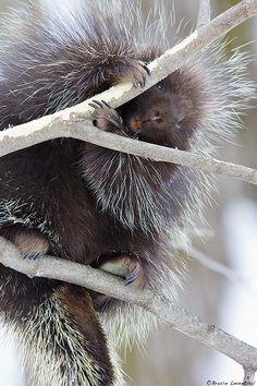 Porcupine8G0150V2BLG | Flickr - Photo Sharing!