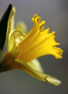 Daffodils ~ birthflower for the month of March when the spring equinox begins (03/20 or 03/21).... my b'day is on the 24th!