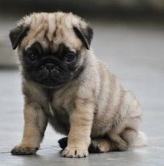 Unique Apricot Striped Pug Puppy