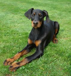 beautiful doberman with her ears the way nature intended them to be