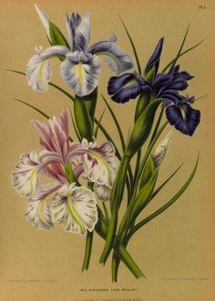 Iris.  Illustrations taken from 'Album van Eeden' (Haarlem's Flora) by A.C. van Eeden & Co.  Published 1872 by de Erven Loosjes.  Missouri Botanical Garden.