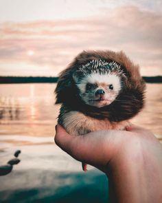 Cute hedgehog wearing a lion costume.