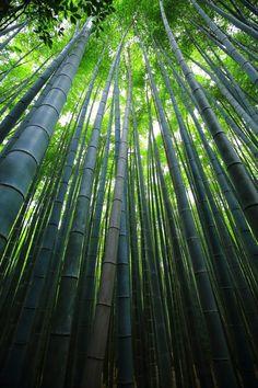 京都嵯峨嵐山の力強い竹林