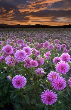 Sunrise at the Dahlia Fields: Photo by Photographer Rick Lundh