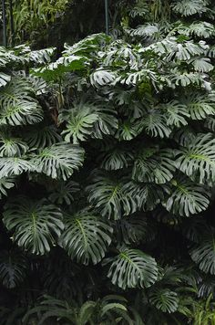 Seven Useful Shade Tolerant Groundcovers For Tough Spots Planta Txica Monstera Deliciosa 'Variegata', Costela-De-Ado Split-Leaf Philodendron, Fruit Salad Plant, Fruit Salad Tree Toxic Plant Tropical Landscaping, Landscaping With Rocks, Tropical Garden, Garden Plants, Indoor Plants, House Plants, Monstera Deliciosa, Plant Wall, Plant Decor