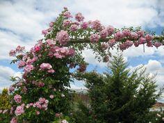 "Roses du jardin de Chêneland: Rosier ""Apple Blossom"""