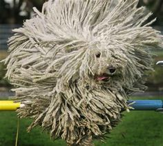 Puli sorry it said Komodor... I believe this is a Puli though.  Trying to find original image.  Yep it's a Puli.  A Komodor would be much much larger.