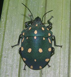 Clown or carnival shield bug, Peruvian Amazon by Arthur Anker, via Flickr
