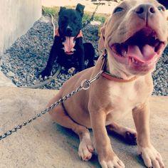 #mayha #razorsedge #instadog #doggy #lovely #stryker #terrier #pitbullpuppy #pitbullvixens #pitbull #puppie #pitstagram #americanstanford #ilovepitbulls #pitbullblue #bluenose #pitbullsofinstagram #instagrampitbulls #instanimal #instagrampitties #petscorner #pitbulllove #bullylifetv #bully #bullyeyes #rednose #beautiesandbulls #cachorro #pitbullblue #americanpitbullterrier #americanterrier