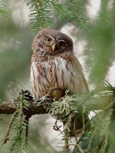 Eurasian Pygmy Owl (Glaucidium passerinum). Photo by Assaf Gavra.