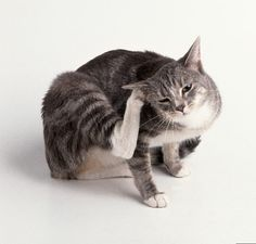 Fleas are an annoyance for both cats as well as cat owners alike. Apart from making the lives of cats miserably itchy, fleas can transmit tapeworms,. Clean Cat Ears, Cat Ear Mites, Son Chat, Pet Dogs, Pets, Cat Fleas, All About Cats, Cool Cats, Cats And Kittens