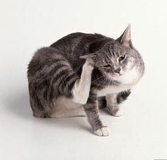 traiter naturellement son chat contre les puces