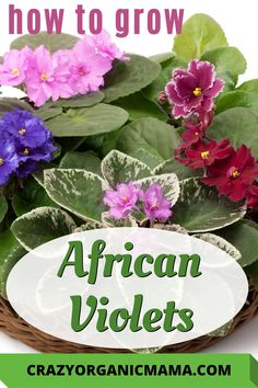 Although African violets can be finicky, producing beautiful plants isn't hard as long as you have some simple knowledge of their growing needs. Indoor Plants Low Light, Indoor Planters, Hanging Planters, Indoor Gardening, House Plant Care, House Plants, Easy Care Houseplants, Growing Plants Indoors, Unusual Plants