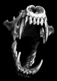Coyote skull from Fish and Game. Coyote Skull in Blue Coyote Skull, Dog Skull, Human Skull, Skull Art, Animal Skeletons, Animal Skulls, Skeleton Bones, Skull And Bones, Skull Reference