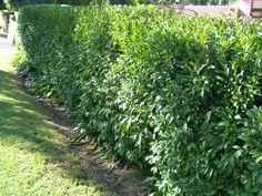 Michelia figo (port wine magnolia) hedge will look great