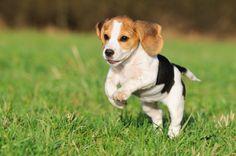 Beagle Digging Problems - How to Stop Them For Good at http://www.mybeagletraining.com/beagle-problems/beagle-digging-problems/