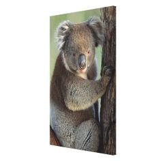 >>>Smart Deals for          Koala bear gallery wrap canvas           Koala bear gallery wrap canvas so please read the important details before your purchasing anyway here is the best buyReview          Koala bear gallery wrap canvas today easy to Shops & Purchase Online - transferred direc...Cleck Hot Deals >>> http://www.zazzle.com/koala_bear_gallery_wrap_canvas-192551831645391339?rf=238627982471231924&zbar=1&tc=terrest