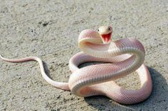 Albino Mamba Snake. One of the most deadly snakes in the world