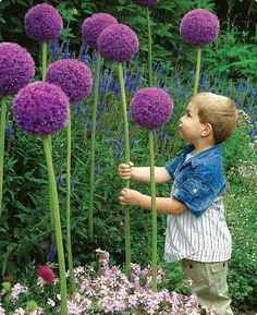 Allium Gladiator: Large, ball-shaped purple flowerheads, 6-9 inches across with silver tips. Blooms early summer. Great as long-lasting cut flower. Height: 4-5 feet.