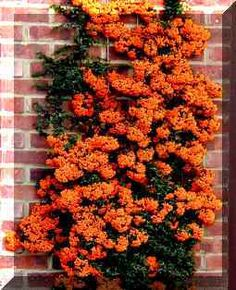 Information on how to prune and train Pyrancantha 'Firethorn' whether you got one trained to a wall or have a large Pyrancantha hedge. Pyracantha produce berries on the years before growth.