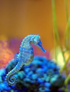 "(RE&D) K-PAX Seahorse, tints of blue, classical green along with soulful orange is the title given to 54 species of marine fish in the genus Hippocampus. ""Hippocampus"" comes from the Ancient Greek hippos meaning ""horse"" and kampos meaning ""sea monster. Pretty Animals, Animals Beautiful, Cute Animals, Animals Sea, Animals Live In Water, Colorful Animals, Underwater Creatures, Ocean Creatures, Fauna Marina"
