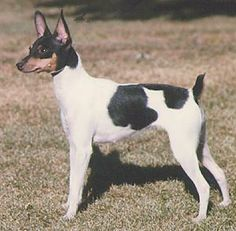 toy fox terrier  =looks just like our dog Bobo except Bobo has a white stripe down his nose. playful, energetic, smart, loyal, good mouse catcher!  Deb