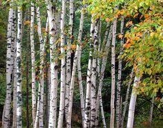 White Birch Trees.