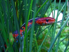 california red sided garter snake - Google Search