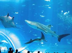Book your tickets online for Okinawa Churaumi Aquarium, Motobu-cho: See 3,168 reviews, articles, and 2,753 photos of Okinawa Churaumi Aquarium, ranked No.1 on TripAdvisor among 36 attractions in Motobu-cho.