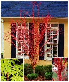 'Coral Bark' Japanese Maple (Acer palmatum) The branches turn to a brilliant coral color in winter. Lime green foliage turns to yellow, orange, and pink in fall.