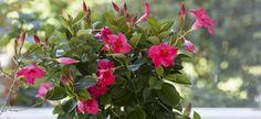 Slik steller du ynde (mandevilla) | Stelletips fra Mester Grønn Planter, Cold