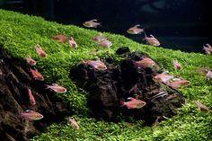 The Sage of Aquariums -- Aqua Design Amano Co