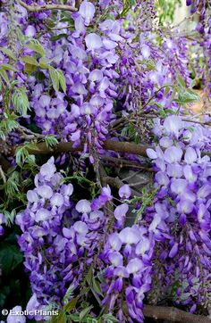 Wisteria sinensis Chinese