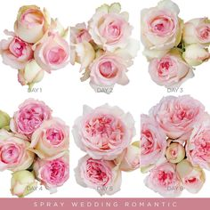 Garden Spray Roses Blush Pink - Wedding Romantica - EbloomsDirect – Eblooms Farm Direct Inc. Where to Buy Bulk Flowers Online for Your Wedding – Bulk Flowers Online, Flowers Direct, Light Pink Flowers, Fresh Flowers, Wholesale Roses, Flowers Delivered, Blush Pink Weddings, Mini Roses, Spray Roses