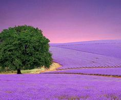 Lavender Fields..... ☆ DanaMichele ☆