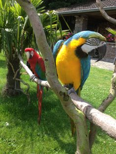 "Macaw Raki & Zizi Check the Facebook page ""Raki & Zizi"""