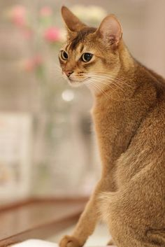 10 Most Friendliest Cat BreedsThe Abyssinian is all about activity. This breed is active, intelligent and adores playing games. The Abyssinian is undiscriminating when it comes to playmates. They enjoy interacting with people of all ages, family and strangers. The Abyssinian's adaptability makes it a great choice for parents who want a cat that can hang out with their little ones.