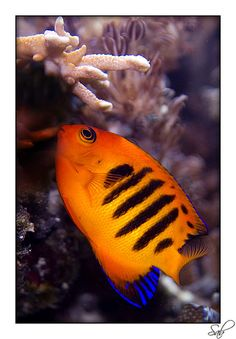 A Flame Angelfish