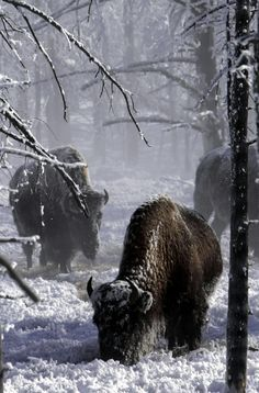 Bison at Yellowstone National Park in the snow Beautiful Creatures, Animals Beautiful, Cute Animals, Wild Animals, Photo Animaliere, American Bison, American Coins, All Nature, Mundo Animal