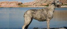 De Schotse Deerhound is een zeer vriendelijk en sympathiek ras. Dit ras kan intimiderend overkomen maar is erg zacht. Deze rashond is vrij eigenzinnig en moeilijk om te trainen en de Schotse Deerhound wordt niet aanbevolen om te leven in een huis met niet-honden huisdieren (denk aan katten, konijnen enzovoorts).