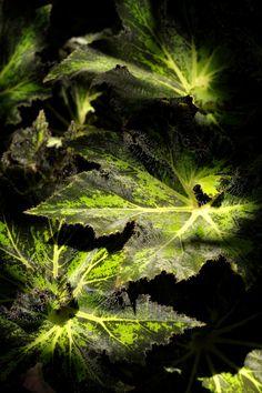 Begonias - Image de bégonias dans l'ombre du letchis.