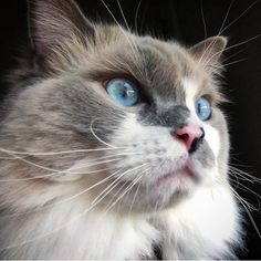Beautiful aesthetic cat with stunning bright blue eyes Bright Blue Eyes, Cat Aesthetic, Pretty Cats, Animals, Beautiful, Instagram, Beautiful Cats, Animales, Animaux