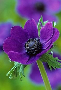 anemone purple - this board features flowers that are usually available for florists to buy in the UK in February for a February wedding. All Flowers, Amazing Flowers, Purple Flowers, Beautiful Flowers, All Things Purple, Plantation, Green And Purple, Planting Flowers, Gardening