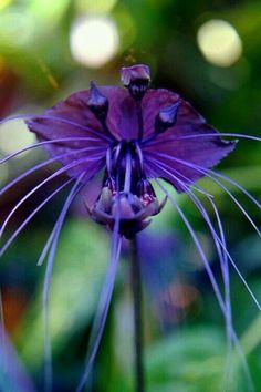 Black Bat Flower Photography – Exotic Fine Art Photography – Wild Nature Photography – Dark Purple Violet Black Bat Plant – Made in Hawaii - Easy flowers Strange Flowers, Unusual Flowers, Unusual Plants, Rare Flowers, Exotic Plants, Amazing Flowers, Cool Flowers, Flowers Nature, Lotus Flowers