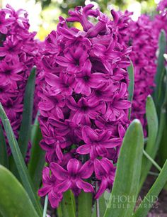 Enjoy fragrant deep maroon blossoms this spring on these stand out Hyacinths called Woodstock! These combine lovely with pinks and…