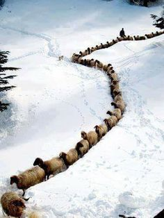 A winter wonder . Sheep plowing a line through the snow! Farm Animals, Animals And Pets, Cute Animals, Beautiful Creatures, Animals Beautiful, Sheep And Lamb, Tier Fotos, Mundo Animal, All Gods Creatures