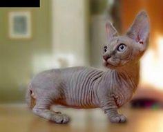 Top 5 Most Rare Cat Breeds - Minskin , a cross between a Sphinx and a Munchkin