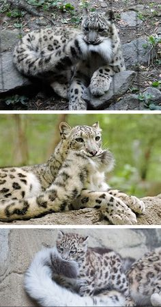 Snow leopards and their giant nommable tails.