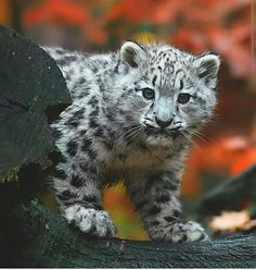 Baby snow leopard, very inquisitive ❣ Baby Snow Leopard, Leopard Kitten, Leopard Cub, Big Cats, Cats And Kittens, Cute Cats, Beautiful Cats, Animals Beautiful, Cute Baby Animals